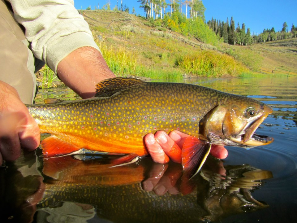 Fly fishing photo colorful brook trout from colorado for Colorado trout fishing