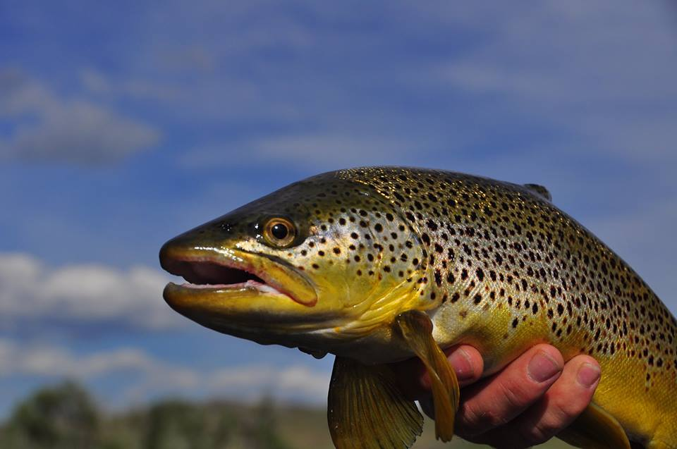 Fly fishing photo missouri river brown trout from dave for Missouri trout fishing