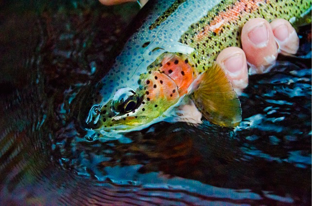 Wild metolius rainbows in peril act now the venturing for Odfw fish stocking