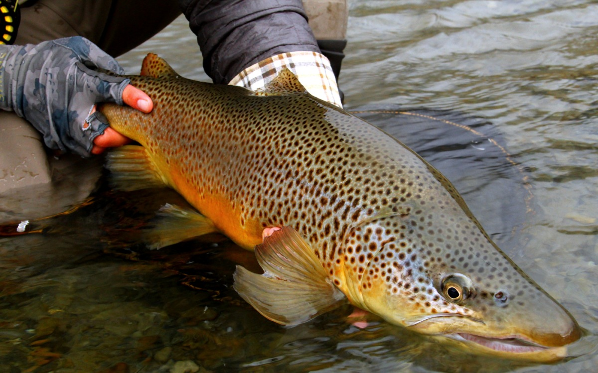 Fly fishing photo big new zealand wild brown trout the for New zealand fish