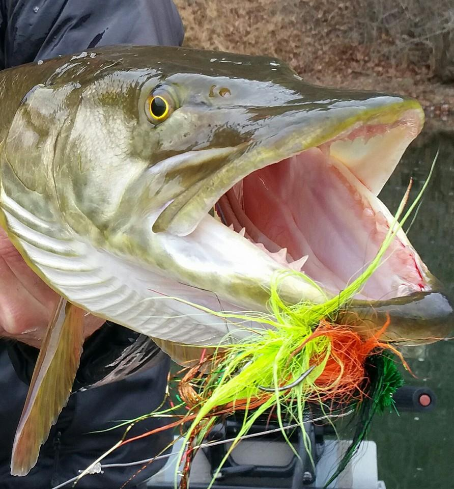 Fly fishing photo virginia musky on the fly the for Muskie fish teeth