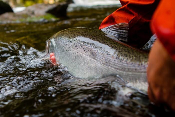 Alaska steelhead release
