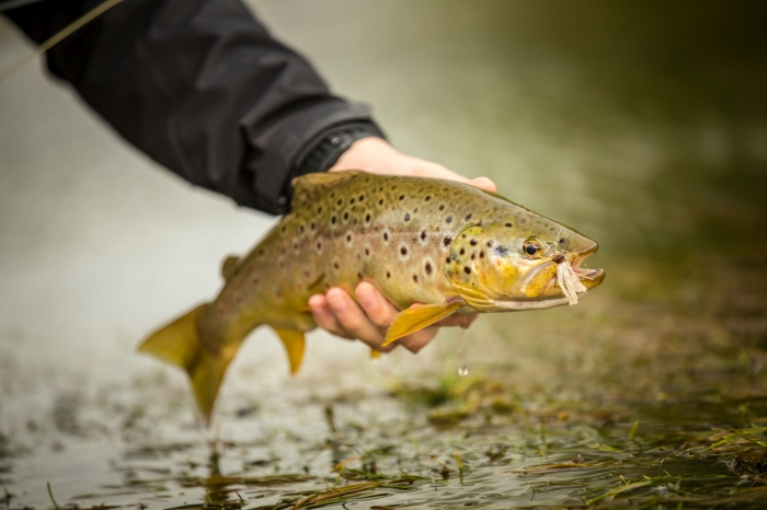 brown trout hopper