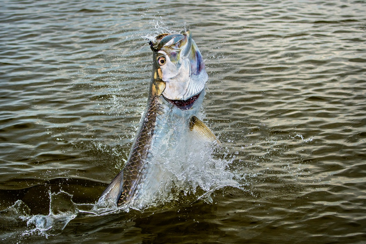 Fly fishing photo tarpon on the fly the venturing angler for Fly fishing photography